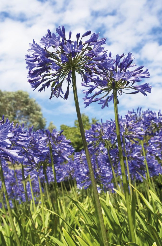 Detail of Agapanthus nutans by Andrew McRobb