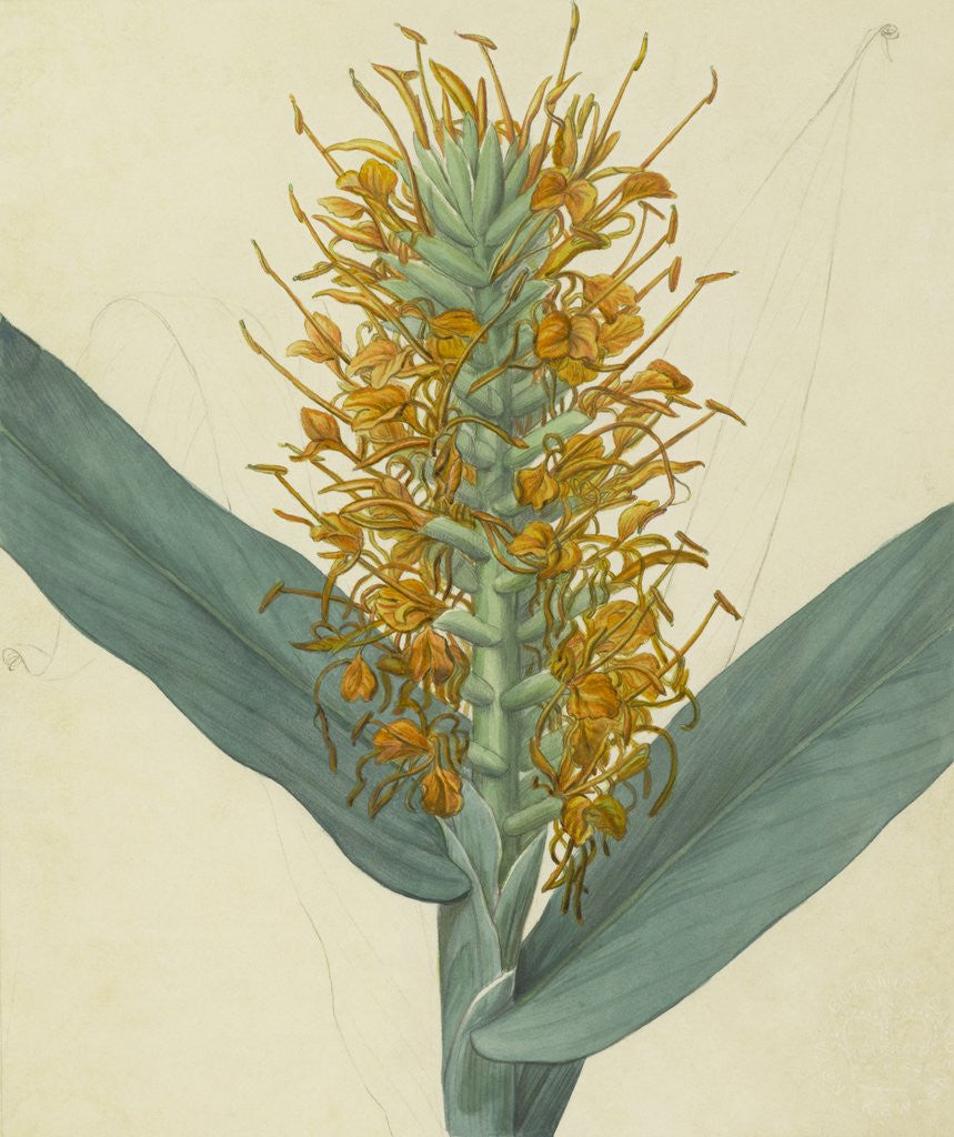 Detail of Hedychrinum augustifolium by James Sowerby