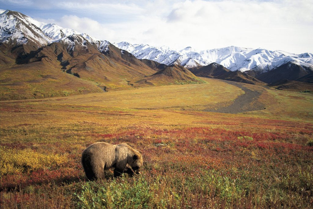 Detail of Grizzly Bear Foraging on Colorful Tundra by Corbis
