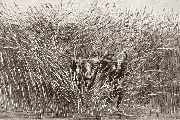 Detail of Boy leading water buffalo through tall grass in South Africa by French School