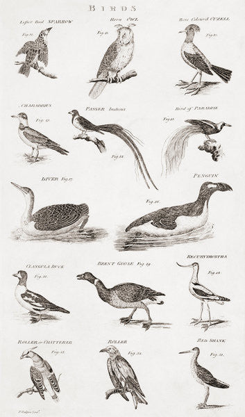 Detail of Different types of birds by Unknown artist