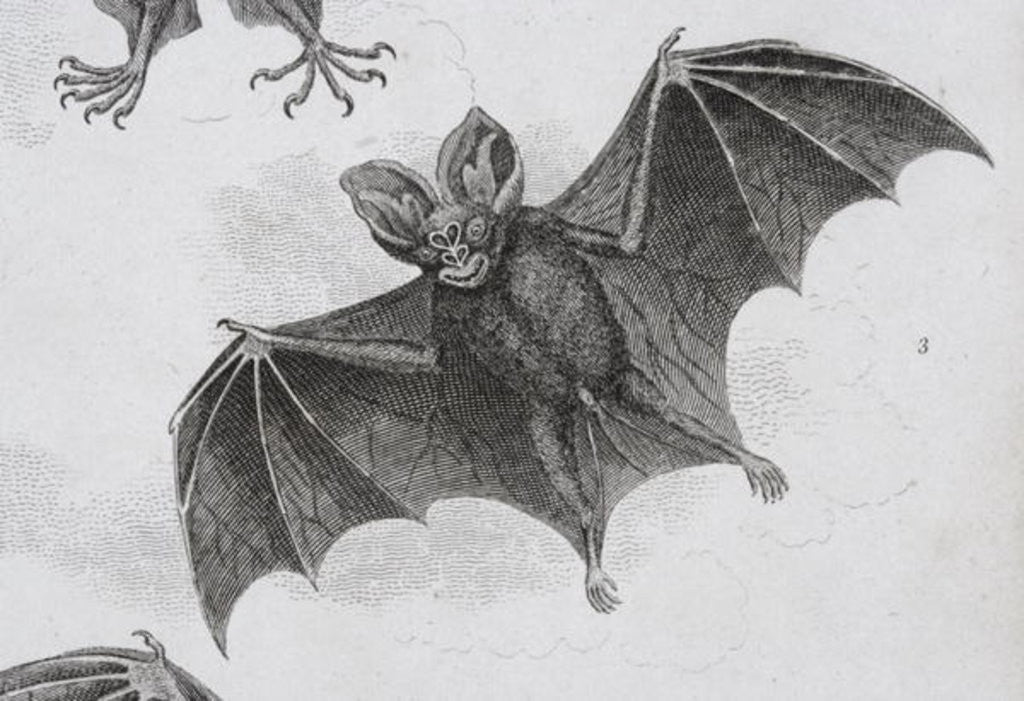 Detail of Bat by Sydenham Teast Edwards