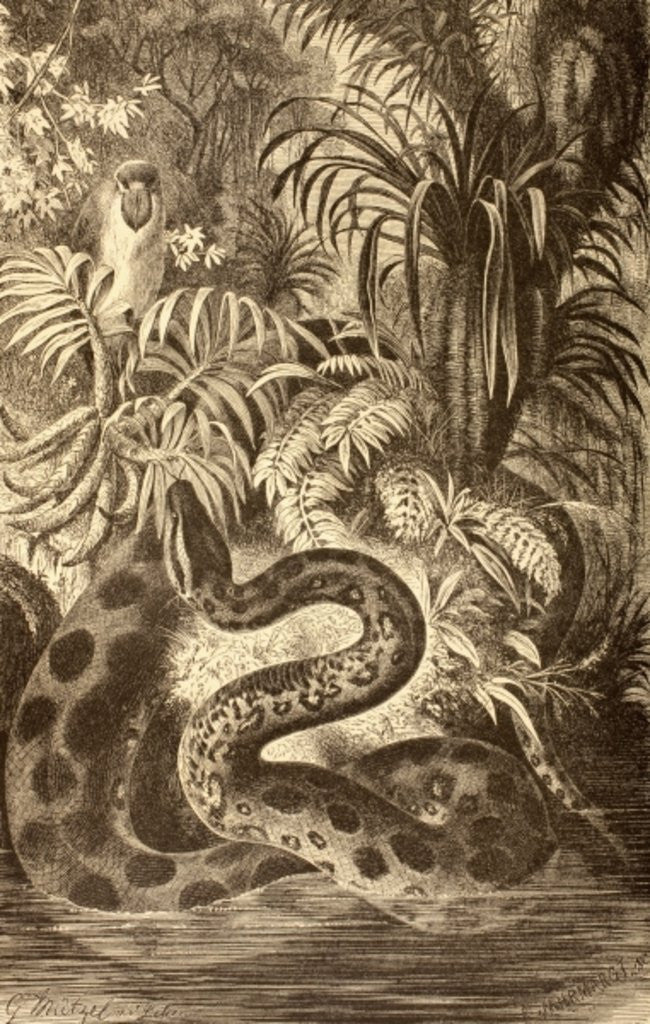 Detail of Anaconda looking for prey by Spanish School