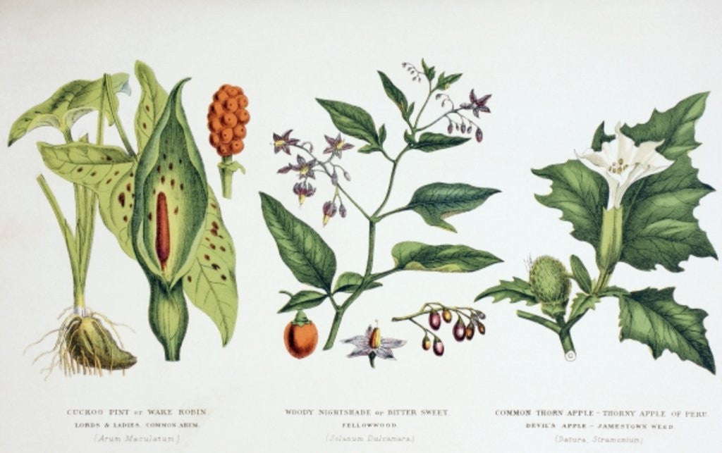 Detail of Common Poisonous Plants by English School
