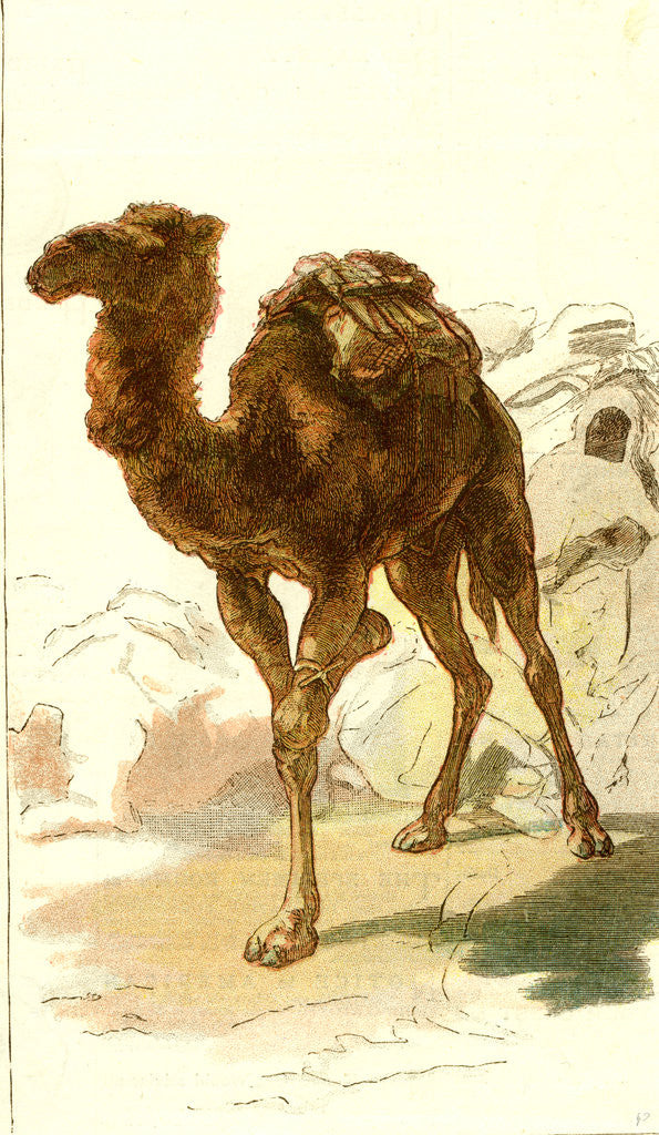 Detail of Camel 1885 Algeria by Anonymous