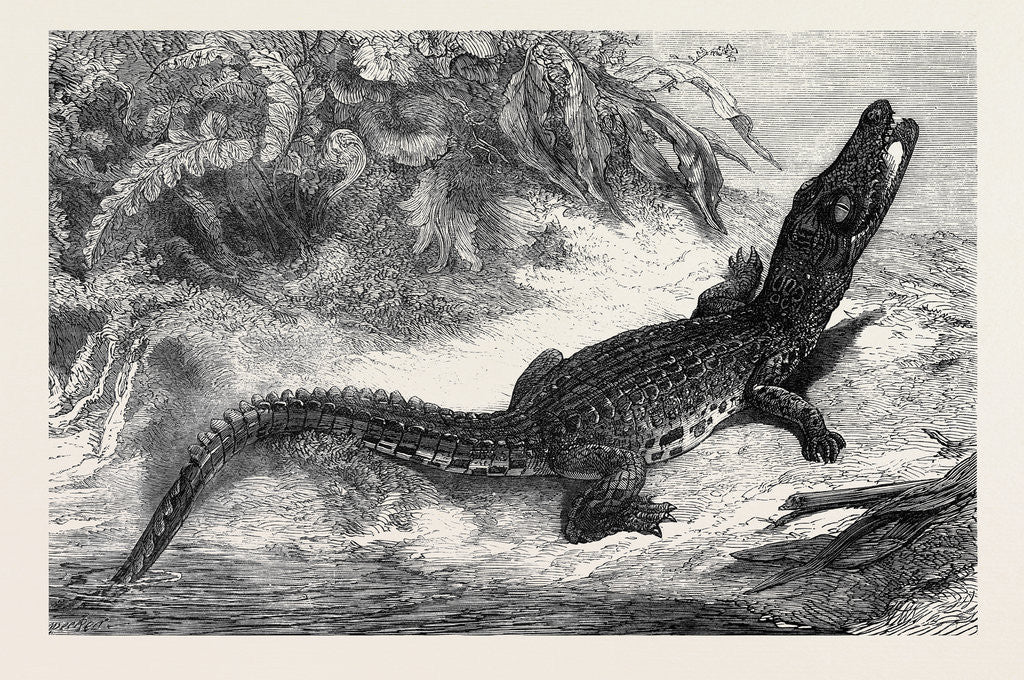 Detail of Alligator from Sumatra for the Brighton Aquarium 1873 by Anonymous