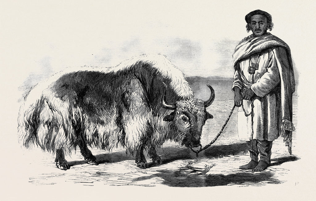 Detail of The Yak or Thibet Ox from a Drawing by W. Carpenter Jun. by Anonymous