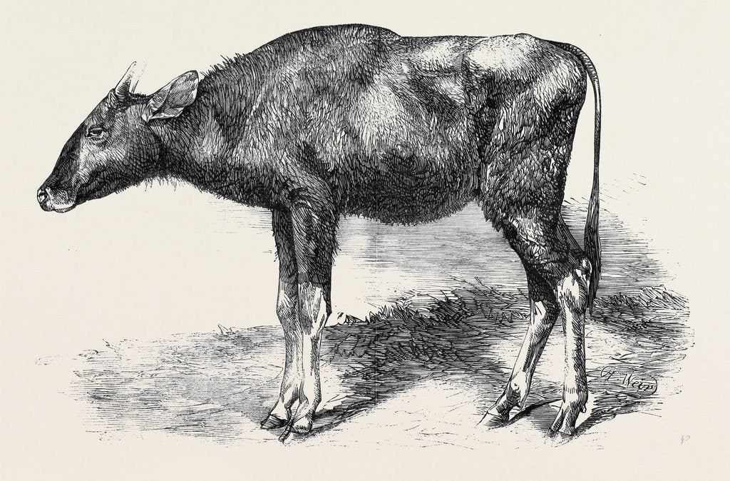 Detail of The Gaour Calf from a Photograph by Anonymous