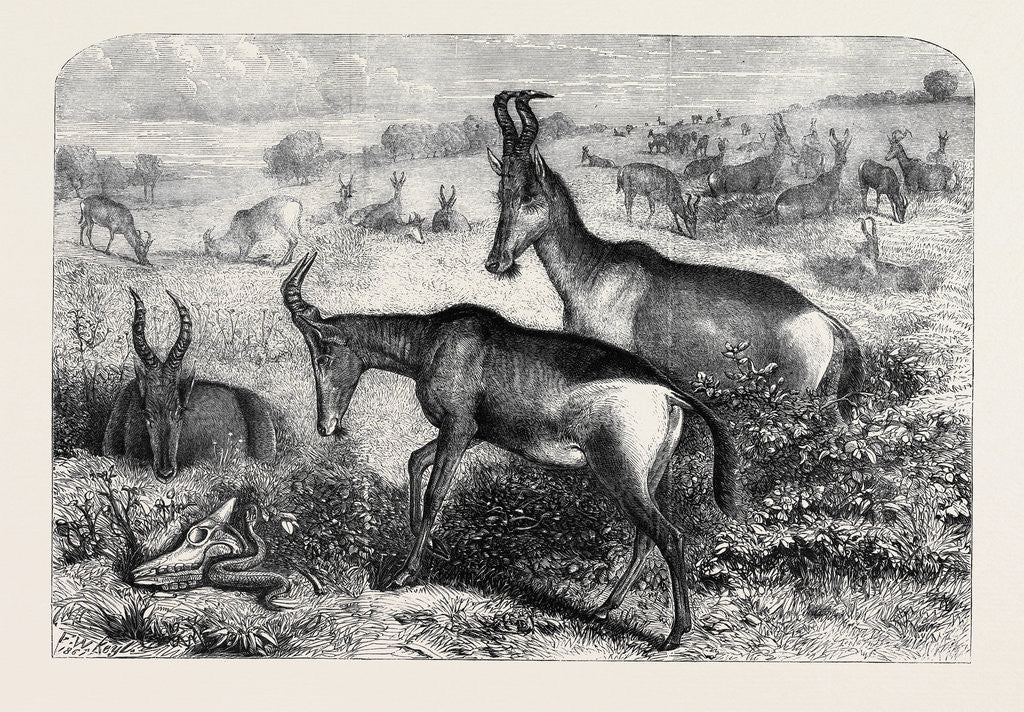 Hartebeeste Antelopes by Anonymous