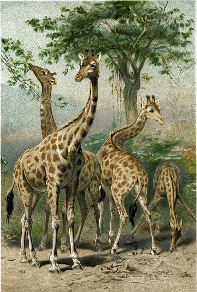 Detail of South African Giraffes by Anonymous