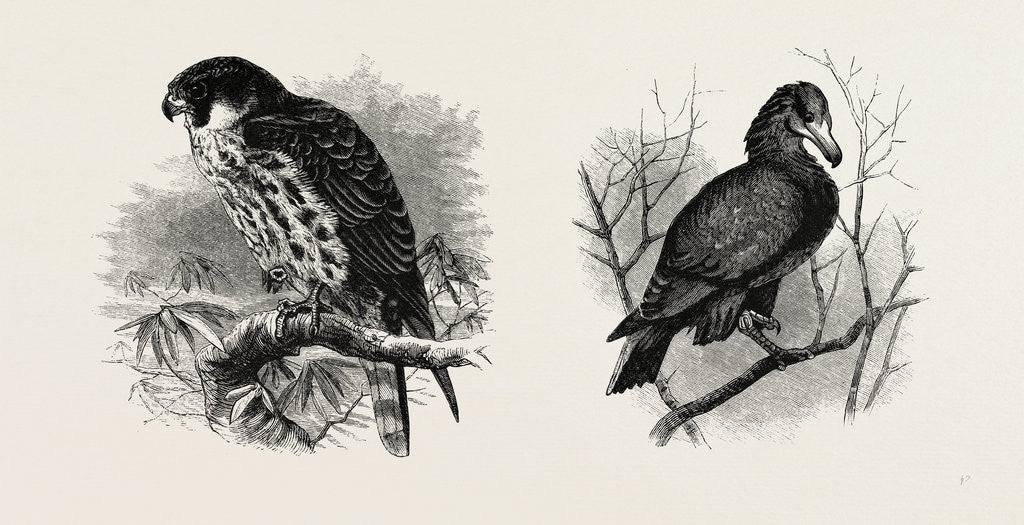 Detail of A Hawk from Nature and a Hawk from the National Gallery by Anonymous