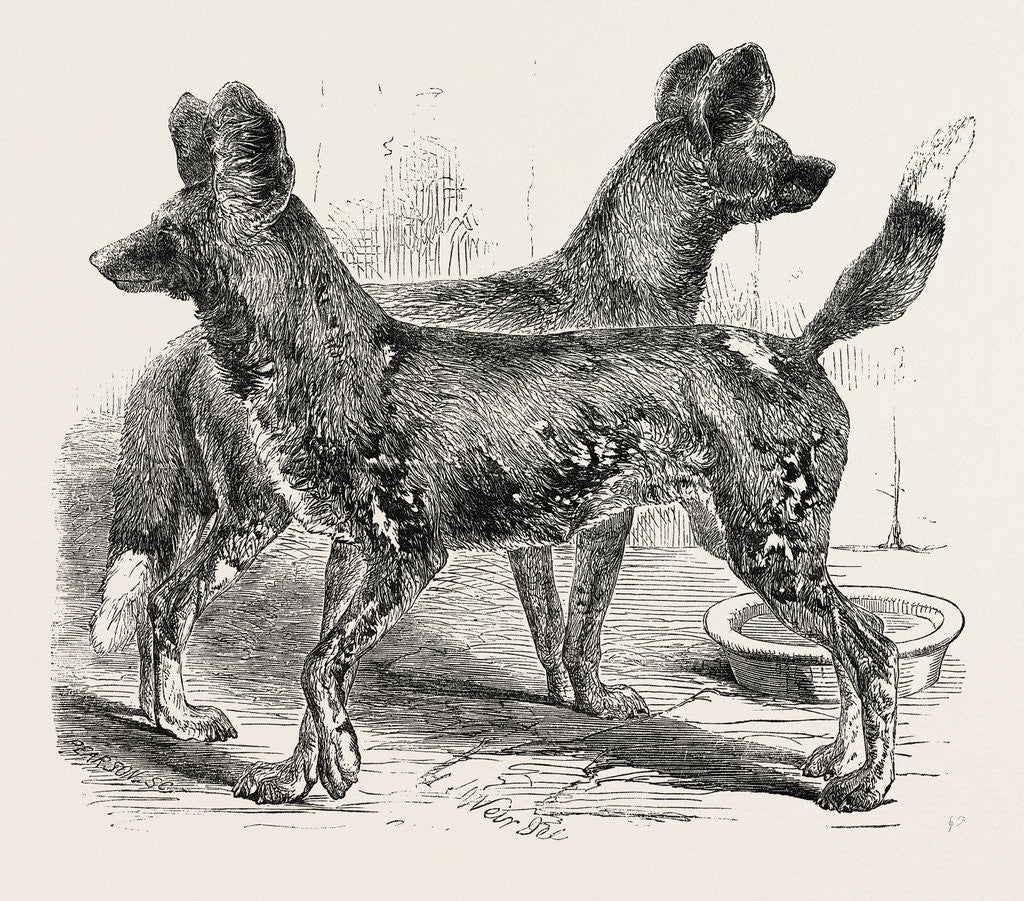 Cape Hunting Dogs in the Gardens of the Zoological Society Regent's Park London 1854 by Anonymous