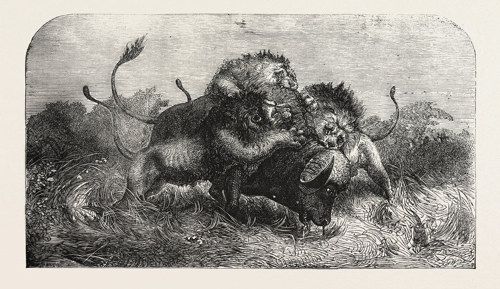 Detail of Dr Livingstone's Missionary Travels and Researchers in South Africa: Three Lions Attempting to Drag Down a Buffalo by Anonymous