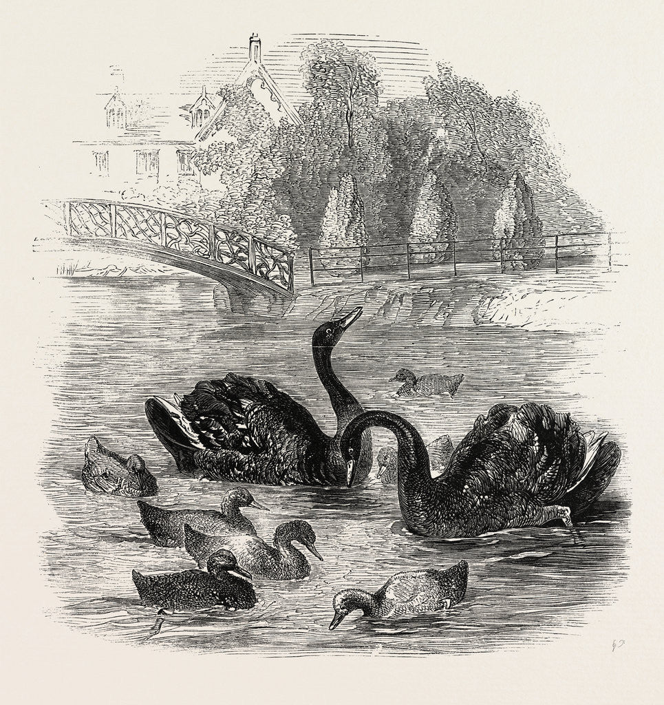 Detail of Black Swans and Their Young, at Culvers, Surrey, the Seat of S. Gurney, Esq., MP. 1859 by Anonymous