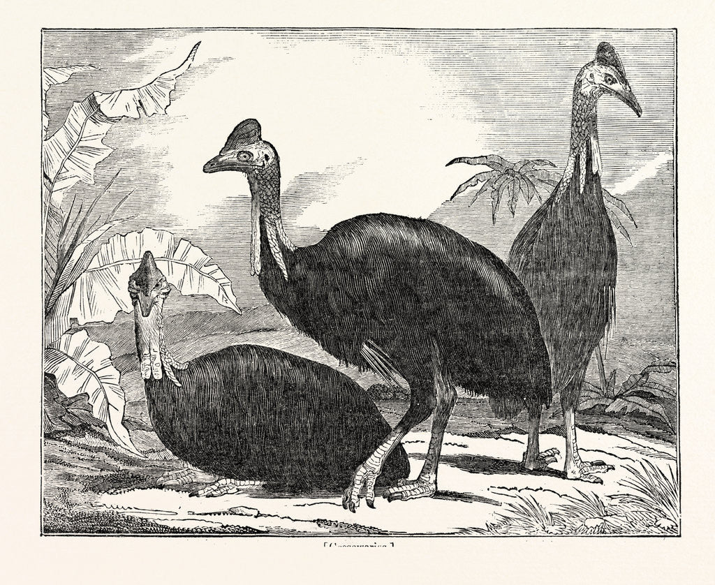 Detail of Cassowaries by Anonymous