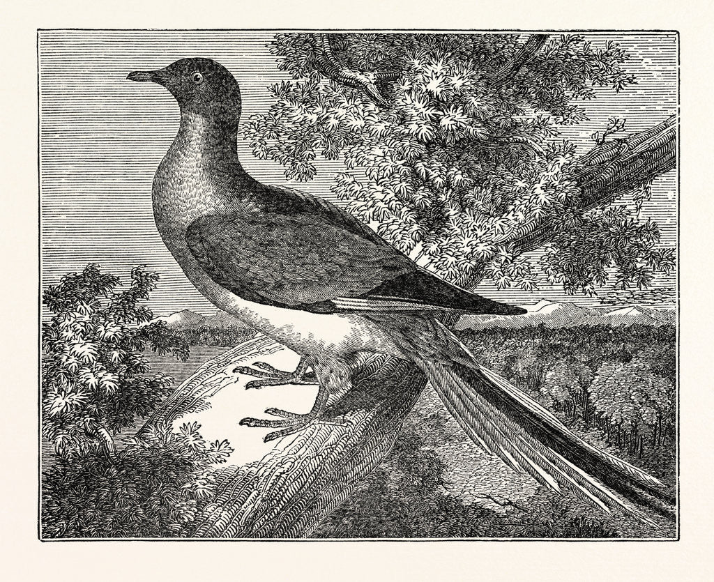 Detail of Passenger-Pigeon by Anonymous