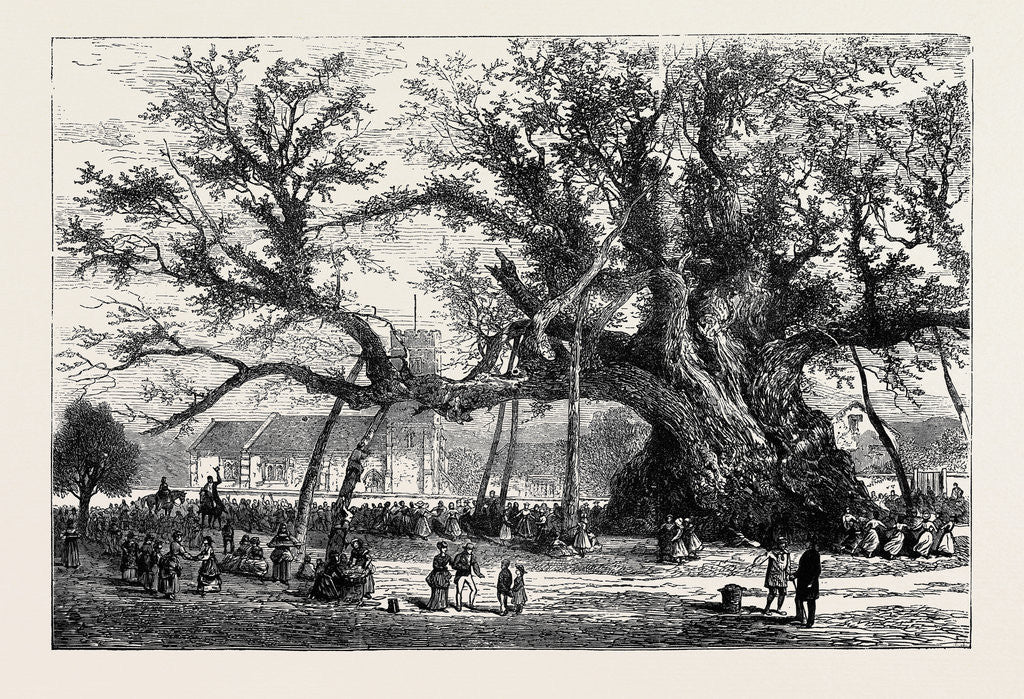 The Cowthorpe Oak, Near Wetherby, the Oldest Oak in England