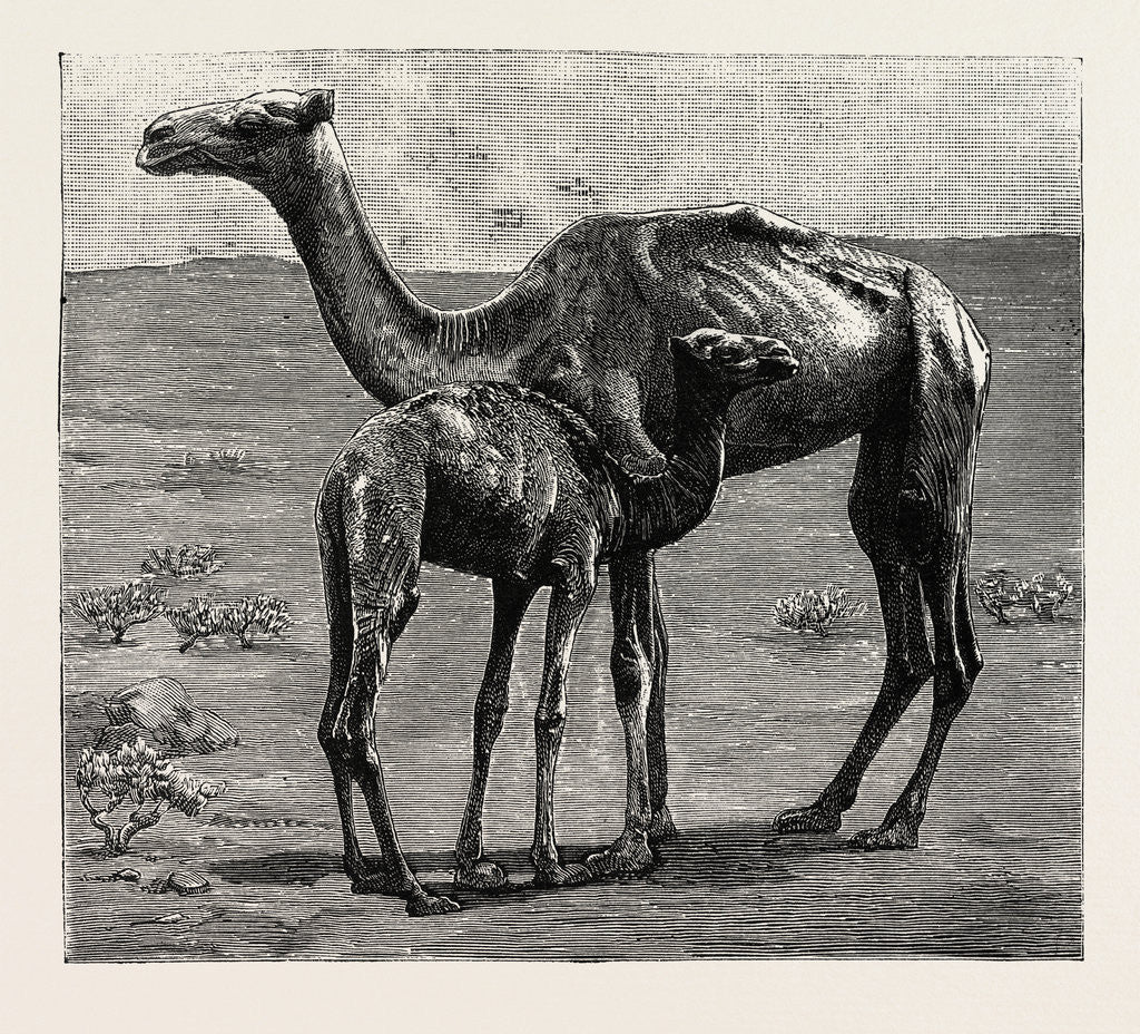 Detail of Camels from El-Teb, Soudan, at the Zoological Gardens: As They Were When Taken to the Gardens by Anonymous