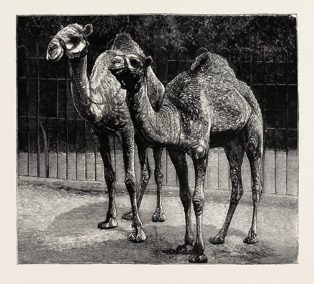 Detail of Camels from El-Teb, Soudan, at the Zoological Gardens: As They Are Now by Anonymous