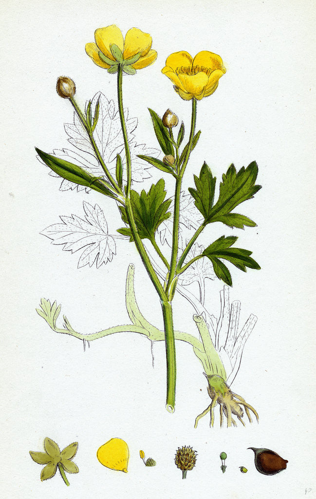 Detail of Ranunculus Repens Creeping Crowfoot by Anonymous
