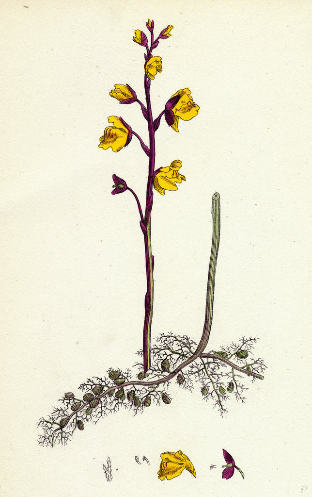 Detail of Utricularia Vulgaris Greater Bladderwort by Anonymous
