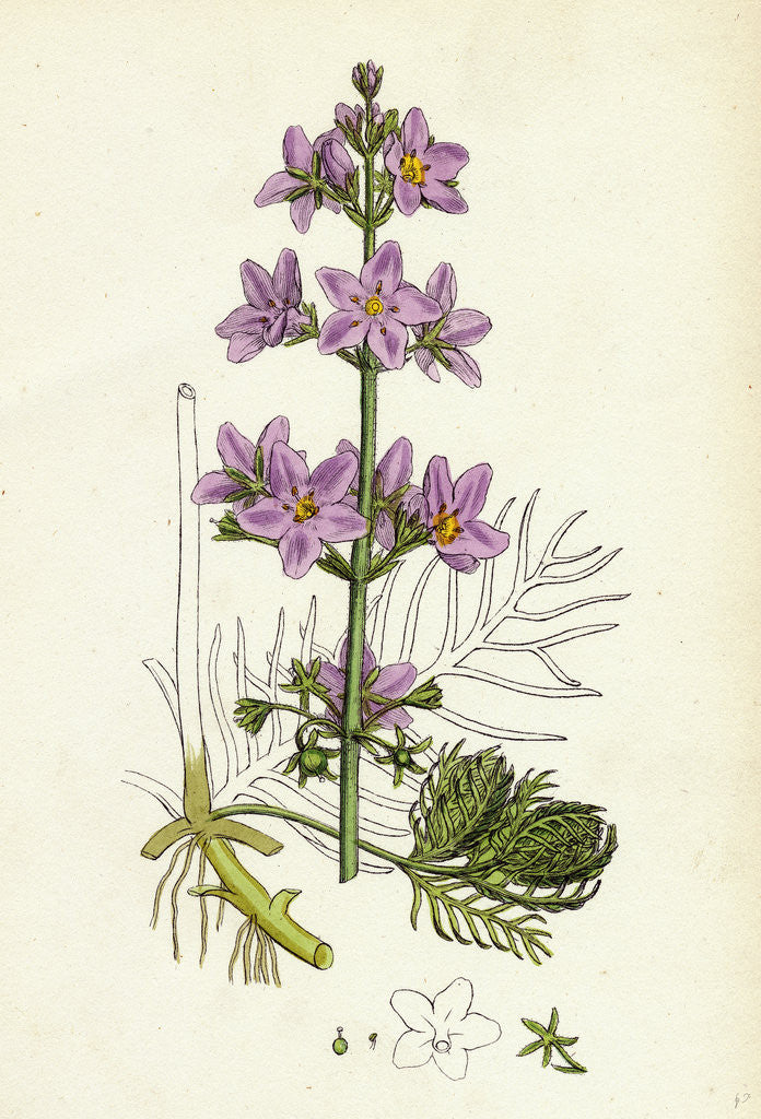 Detail of Hottonia Palustris Water-Violet by Anonymous