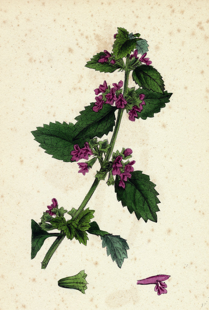 Detail of Ballota Nigra Var. Foetida Black Horehound Var. A. by Anonymous