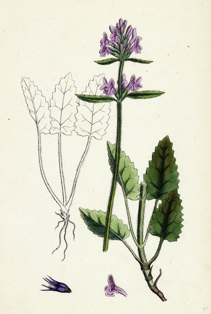 Detail of Stachys Betonica Wood Betony by Anonymous