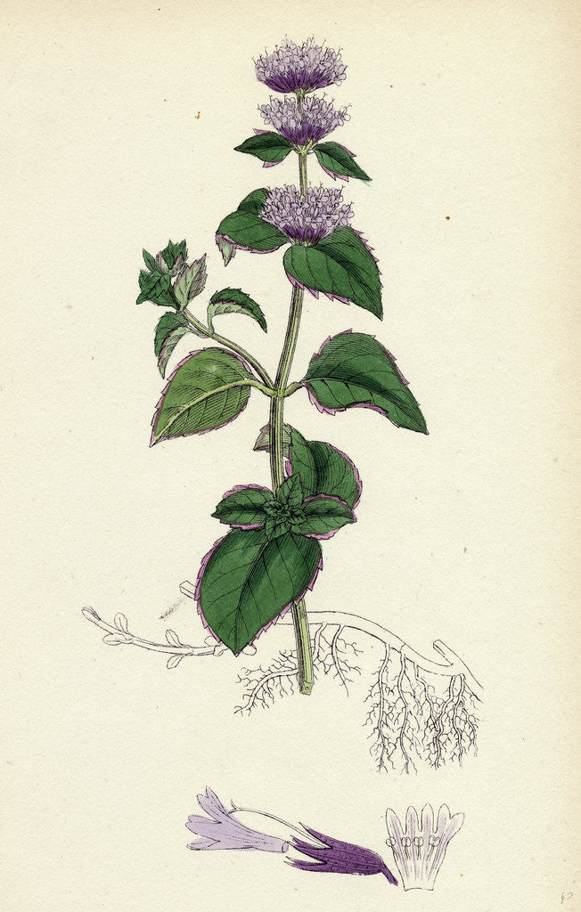 Detail of Mentha Citrata Bergamot Mint by Anonymous