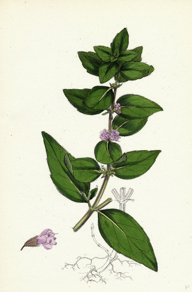 Detail of Mentha Gentilis Bushy Red Mint by Anonymous