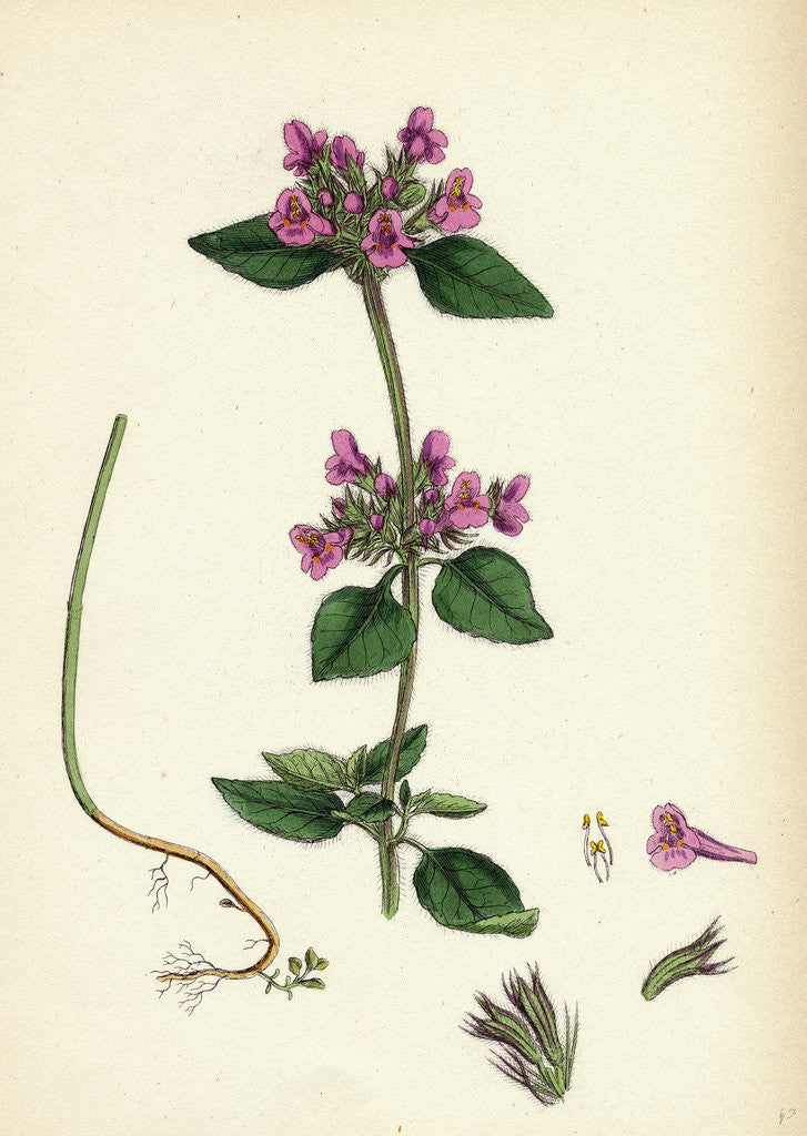 Detail of Calamintha Clinopodium Wild Basil by Anonymous