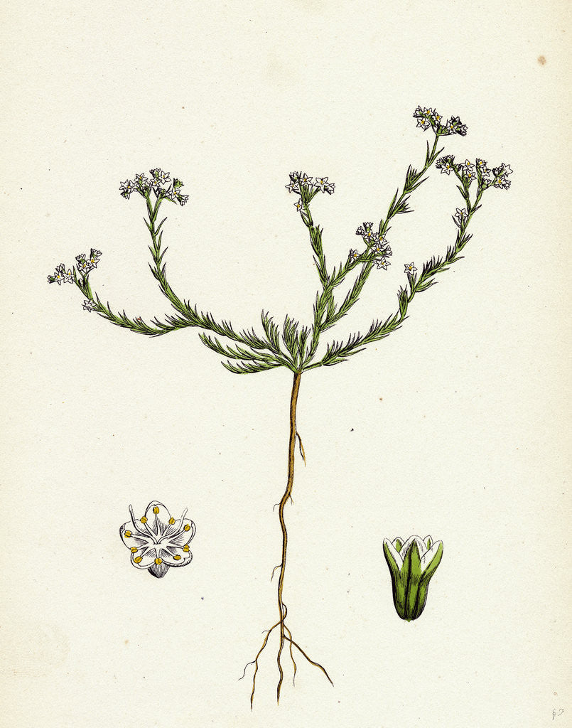 Detail of Scleranthus Perennis Perennial Knawel by Anonymous
