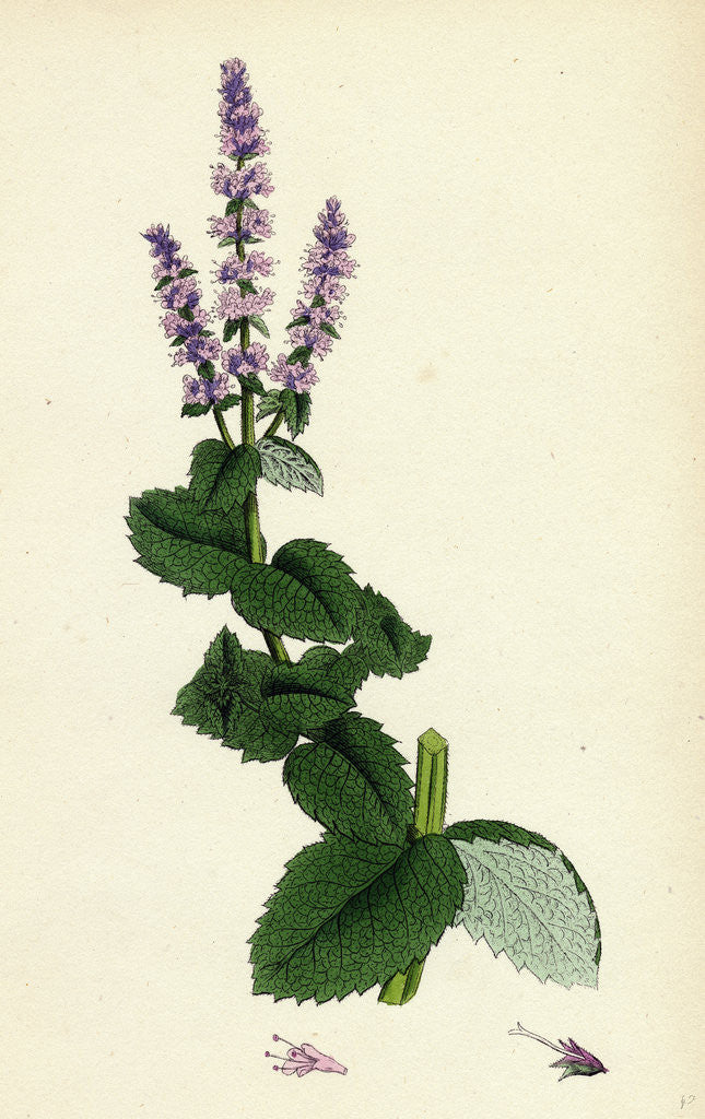 Detail of Mentha Rotundifolia Round-Leaved Mint by Anonymous