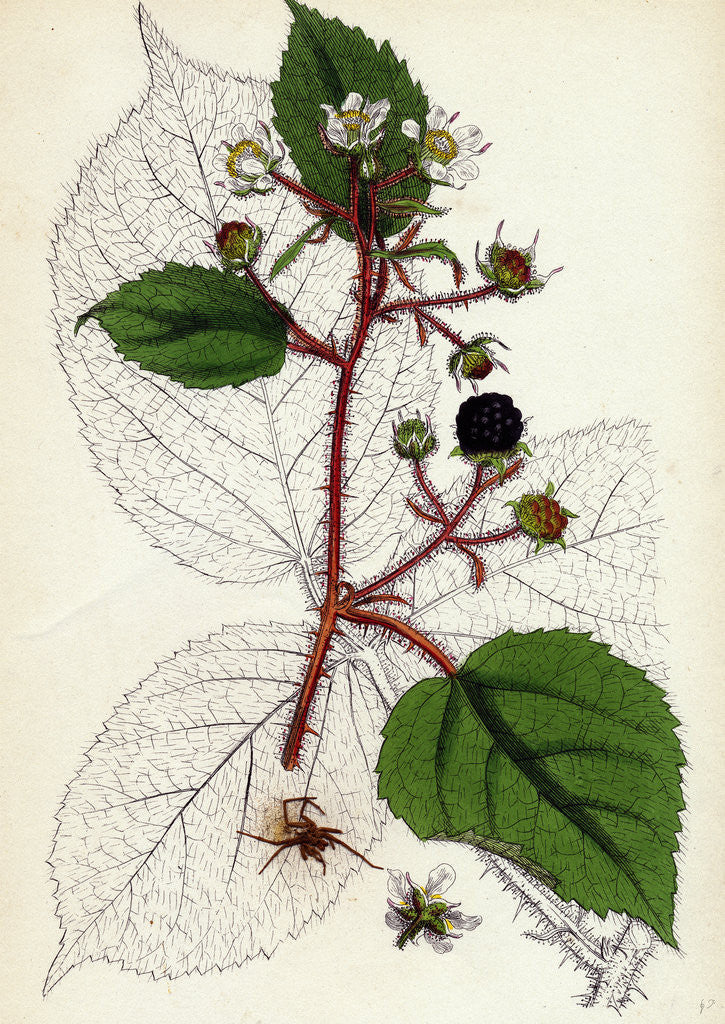Detail of Rubus Glandulosus Glandular-Stemmed Bramble by Anonymous