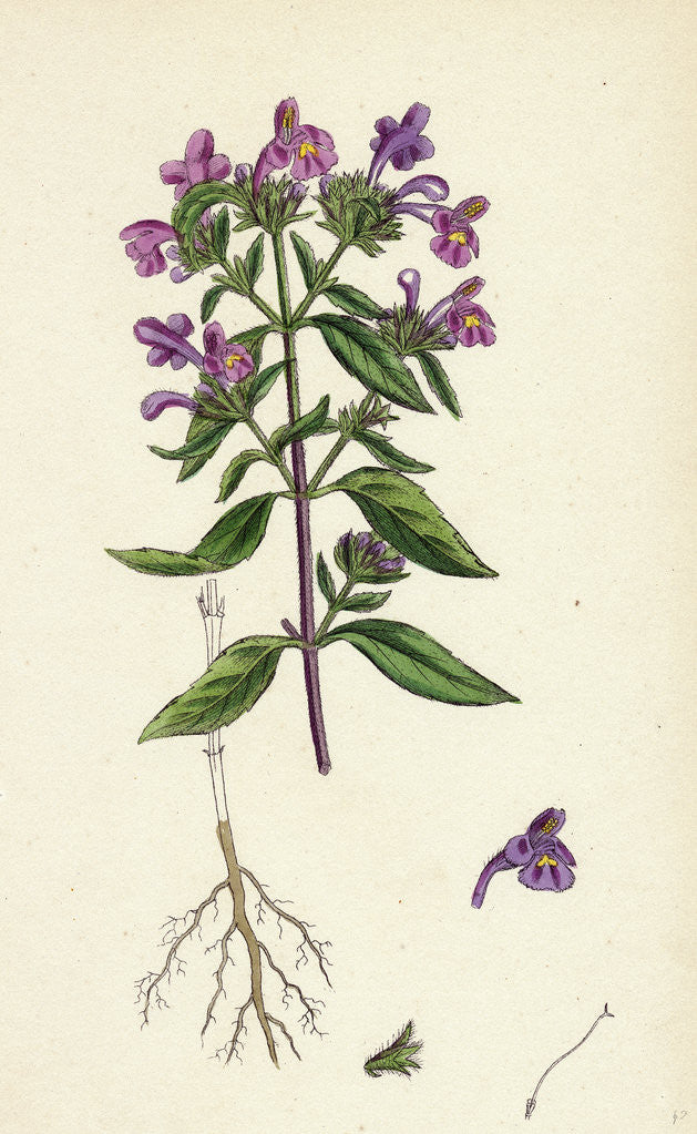 Detail of Galeopsis Angustifolia Narrow-Leaved Hemp-Nettle by Anonymous