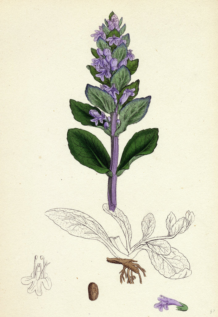 Detail of Ajuga Reptans Common Bugle by Anonymous