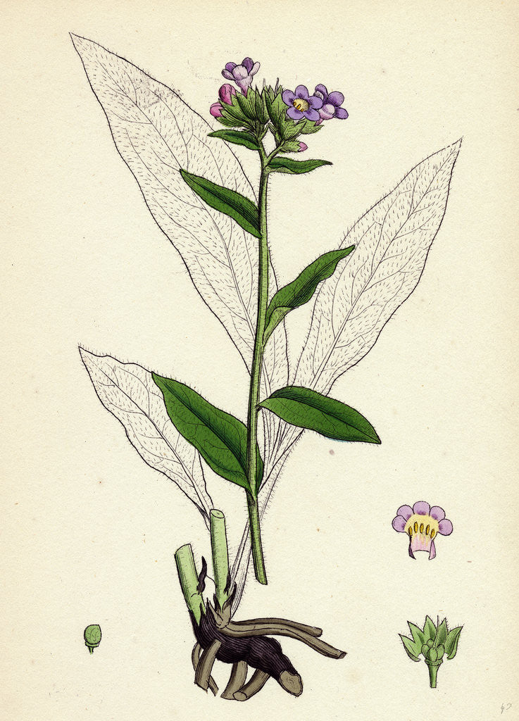 Detail of Pulmonaria Angustifolia Narrow-Leaved Lungwort by Anonymous