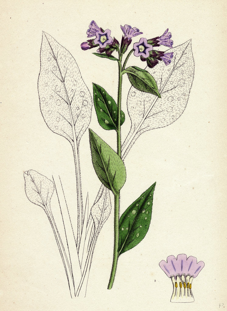 Detail of Pulmonaria Officinalis Common Lungwort by Anonymous