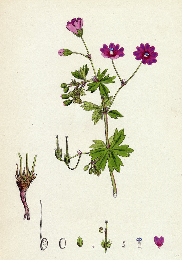 Detail of Geranium Pyrenaicum Mountain Crane's-Bill by Anonymous
