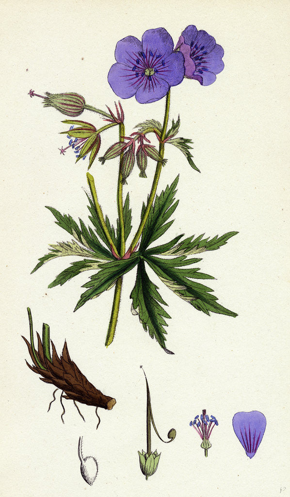 Detail of Geranium Pratense Blue Meadow Crane's-Bill by Anonymous