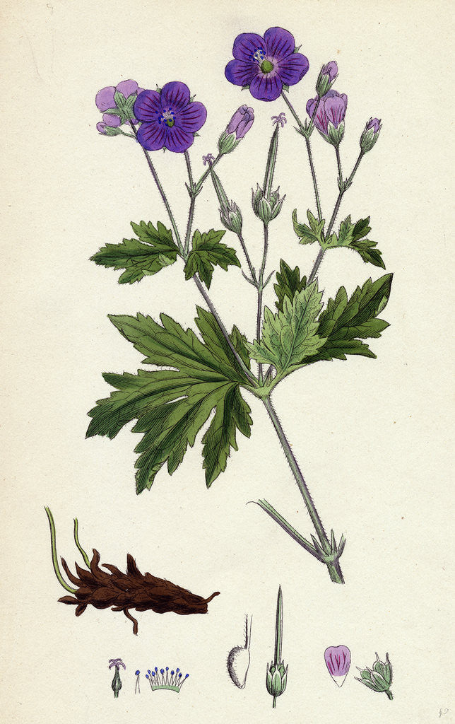 Detail of Geranium Sylvaticum Wood Crane's-Bill by Anonymous