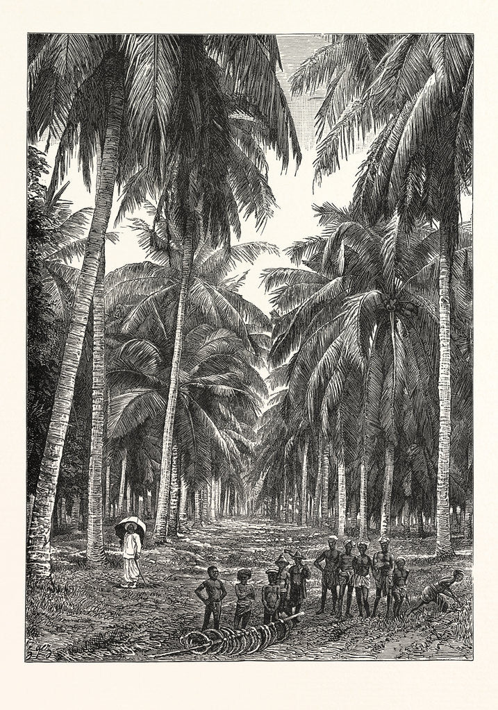 Detail of Cocoa-Nut Plantation in Ceylon, Sri Lanka by Anonymous