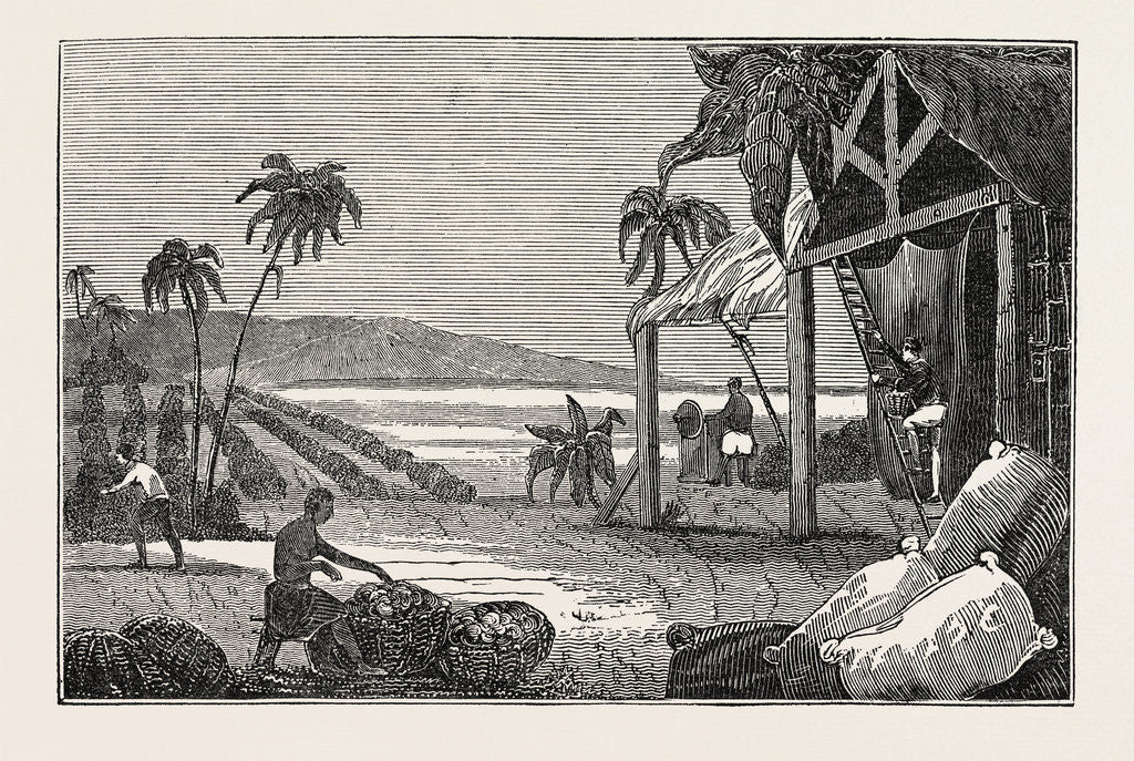 Detail of Cultivation of the Cotton Plant, Guiana by Anonymous