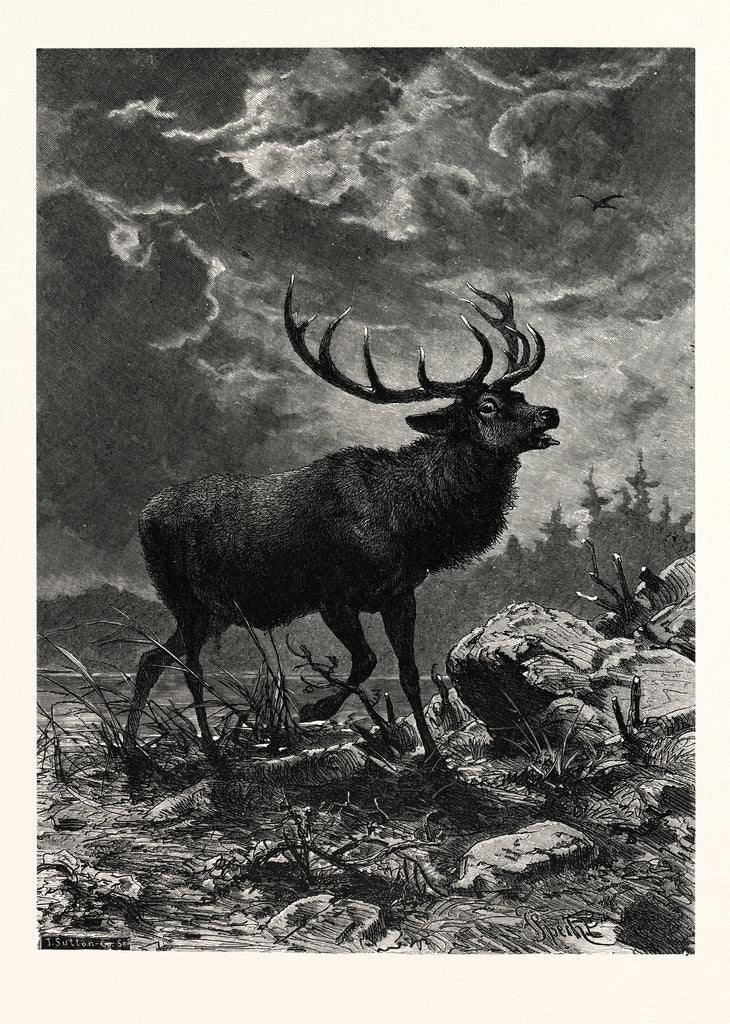 Detail of A Deer; after Specht by Anonymous
