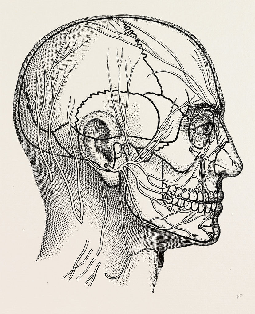 The Nerves Of The Face And Of The Side Of The Head Posters Prints