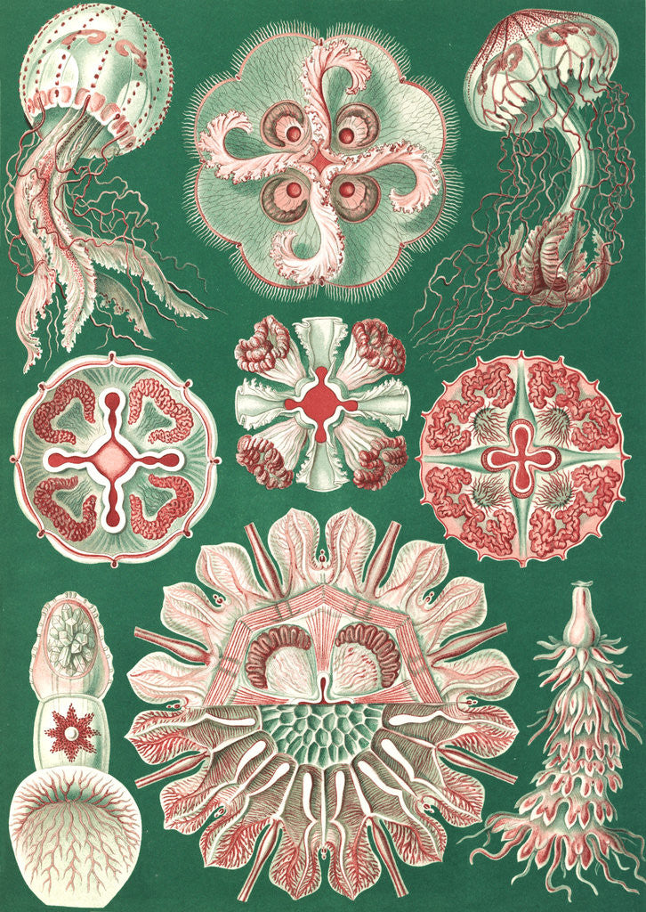 Detail of Illustration showing a variety of jellyfish. Discomedusae by Ernst Haeckel
