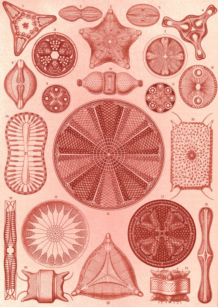 Detail of Algae. Diatomea by Ernst Haeckel
