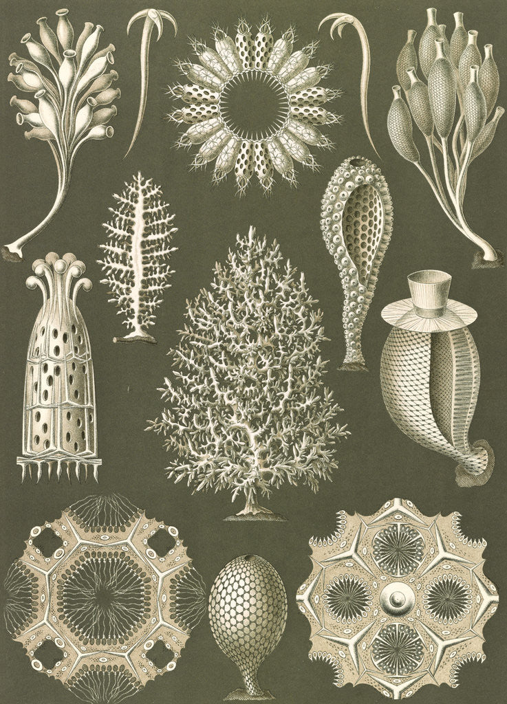 Detail of Calcareous sponges. Calcispongiae by Ernst Haeckel