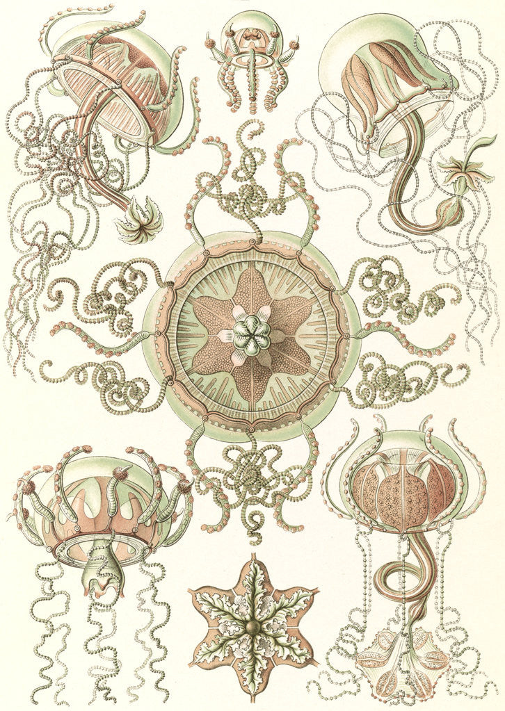 Detail of Jellyfishes. Trachomedusae by Ernst Haeckel