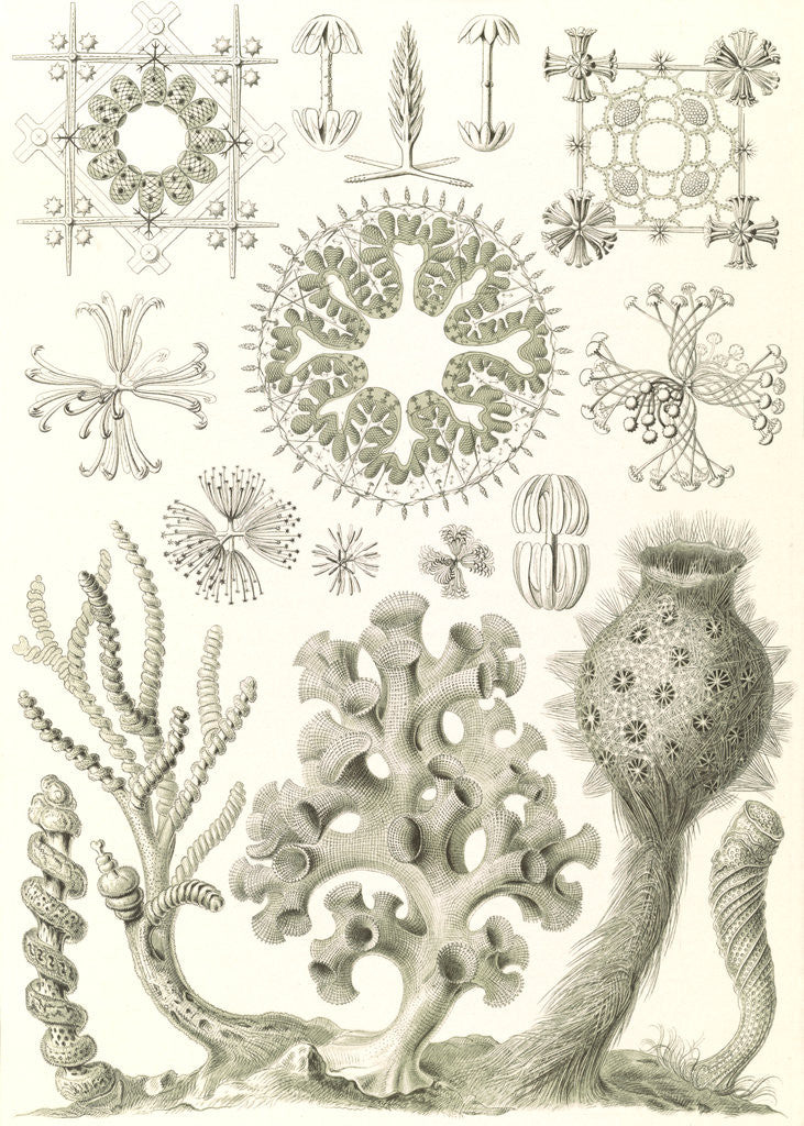 Detail of Glass sponges. Hexactinellae by Ernst Haeckel